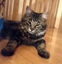 cat lost in Vaudreuil