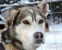dog lost in Deux Montagnes