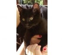 kitten lost in Villeray