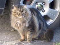 Long-haired grey tabby lost in Boucherville