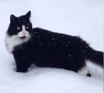 cat found in Joliette