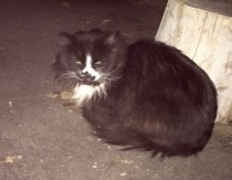 cat found in Lasalle