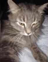 cat found in Ste Brigitte de Laval