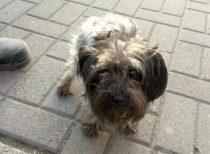 dog found in Ste Anne des Plaines