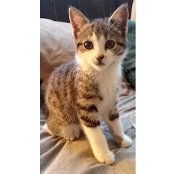 kitten lost in Pierrefonds