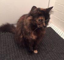 Tortoiseshell cat found in Rosemont