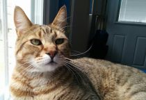 cat lost in Pointe Claire