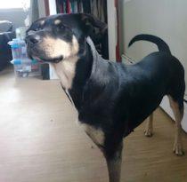 dog found in Notre-Dame-de-l'Île Perrot