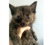 kitten found in Pierrefonds