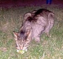 cat found in Ahuntsic