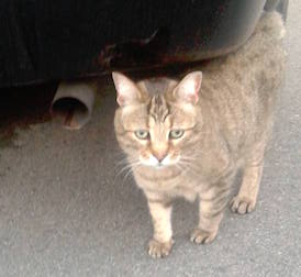 cat found in Vaudreuil