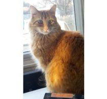 cat lost in Chomedey