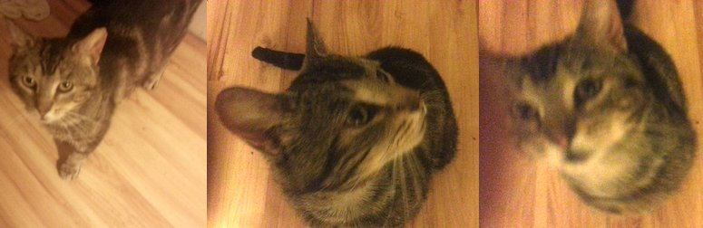 cat lost in Lachine