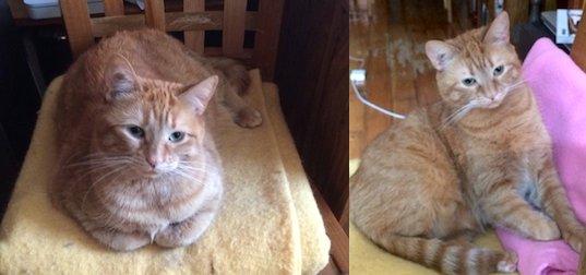 cat lost orange
