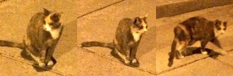 cat found in the Village