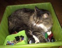 cat lost in Lachenaie
