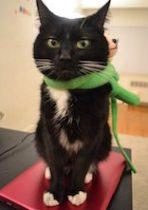 cat lost in St-Lambert