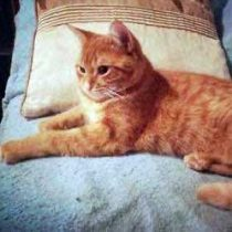 Orange and white cat lost in Ville-Émard