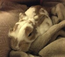 White and brown rabbit lost in Duvernay