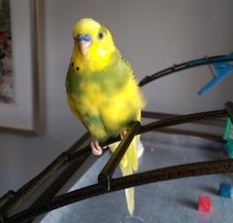 bird lost in Laval