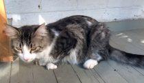 cat found in the Plateu