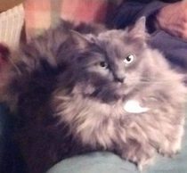cat lost in Rosemont