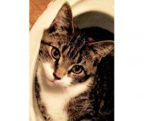 cat lost in Sherbrooke