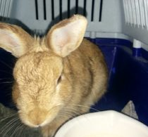 rabbit found in Laval