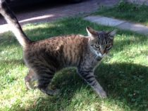 Tabby cat found in Ahuntsic