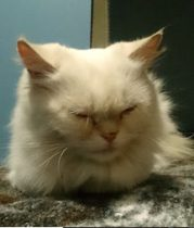 Persian cat found in Verdun