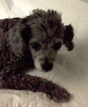 dog found in Parc-Ex