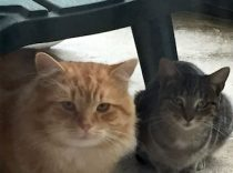 2 cats found in St-Leonard