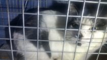 Black and white cat found in Brossard