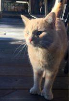 cat found in Ville St-Laurent