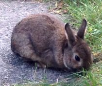rabbit found in Hochelaga