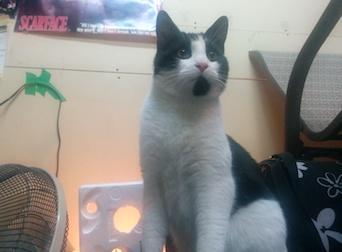 cat found in Mascouche