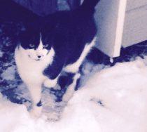 Chat noir et blanc trouvé à Mont St-Hilaire