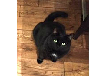 cat lost in Longueuil