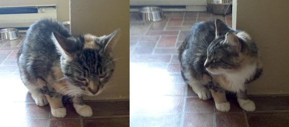 cat lost in St Paul de Joliette