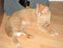 cat lost in St-Sauveur