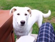 dog lost in St-Lin