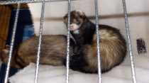 ferret lost in Deux-Montagnes