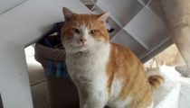 Orange and white cat found in St-Léonard