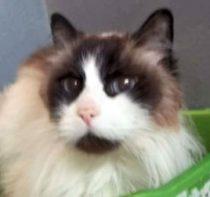 cat found in Ste Anne des Plaines