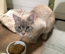 cat found in Ste-Therese