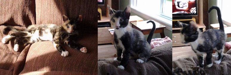 kitten lost in Laval