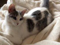 cat found in Kirkland
