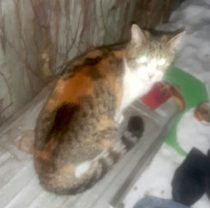 cat found in the Plateau