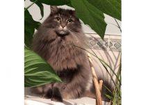 cat lost in St Urbain