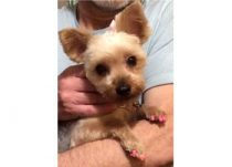 dog lost in Châteauguay